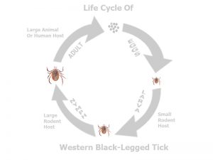 ticks carrying lyme disease life cycle