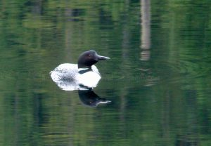 common loon on Vancouver Island