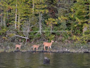 mohun lake campground deer on vancouver island camping